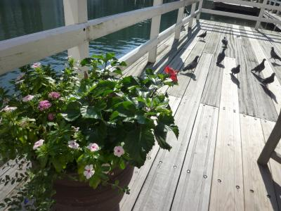 テラスの花・鳩
