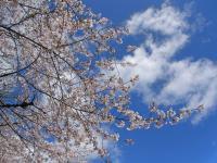 BL130403名古屋城の桜1RIMG0219