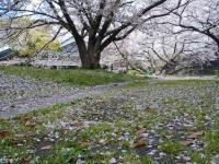 BL130403名古屋城の桜4RIMG0253
