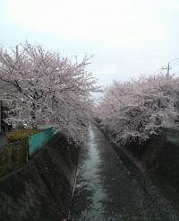 Denu_sakura-2.jpg