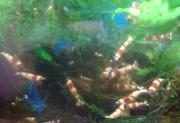 Shrimp13061.jpg