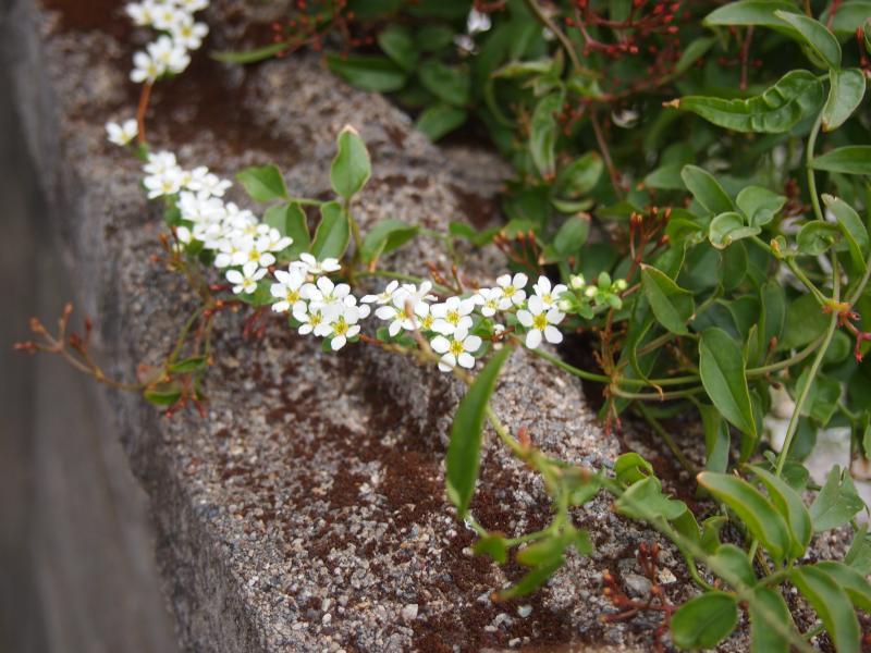 塀の白い花