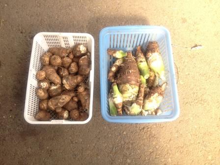 里芋&竹の子芋
