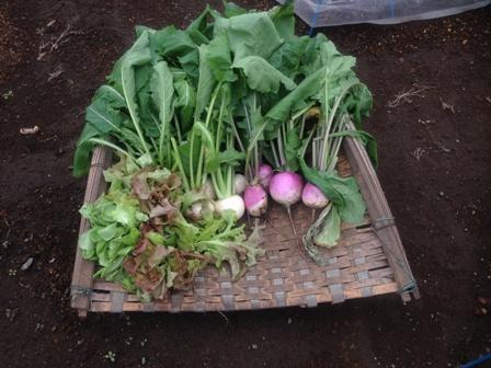 レタス間引き菜とカブ
