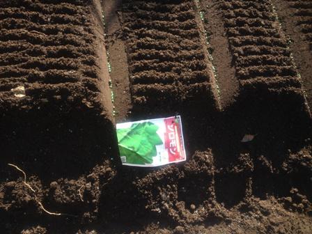 ホウレンソウ種蒔き