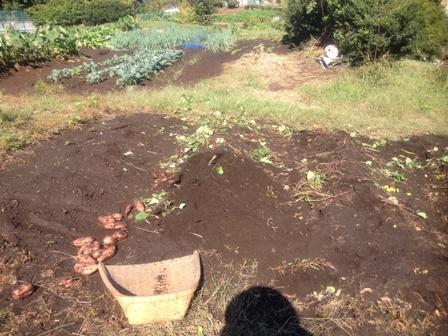 安納芋収穫