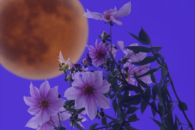 満月と皇帝ダリア