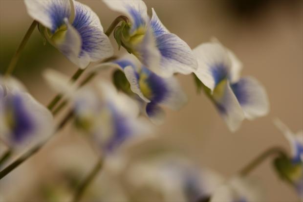 春に咲いたタチツボスミレ