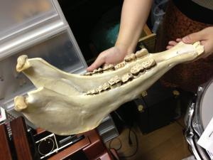 ロバの下顎