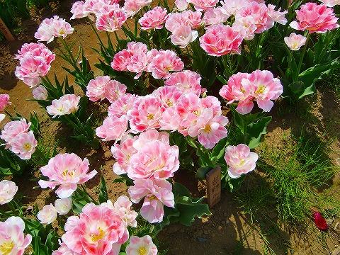 ピンクの八重のチューリップ