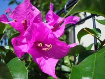ブーゲンビリア 花