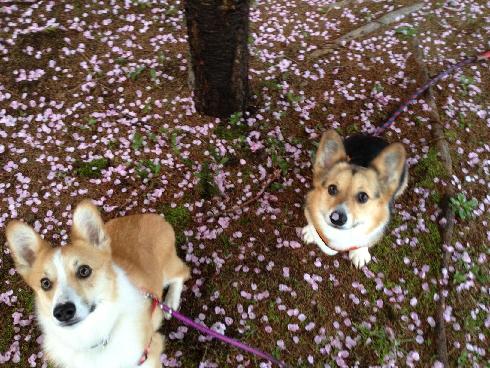 桜もおしまい