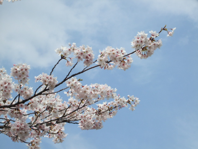 黄金山の桜