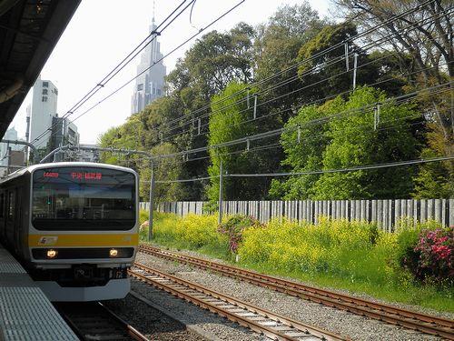 千駄ヶ谷駅・菜の花(2013年4月15日)