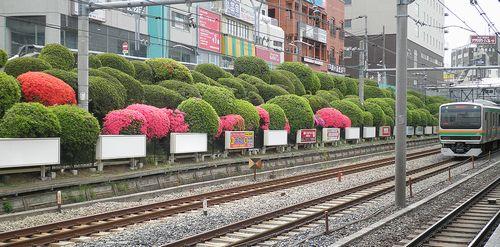山手線駒込駅・つつじ(2013年4月19日)2
