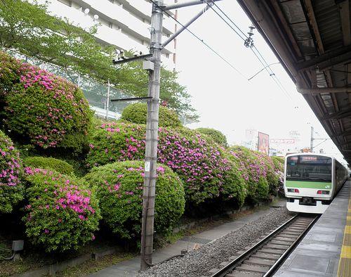 山手線駒込駅・つつじ(2013年4月19日)1