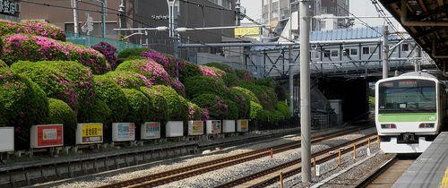 山手線駒込駅・つつじ(2013年5月10日)2