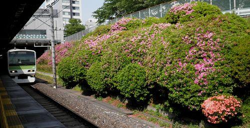 山手線駒込駅・つつじ(2013年5月10日)1