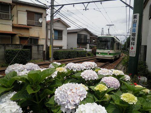 都電荒川線・あじさい(2013年6月7日・西ヶ原四丁目)