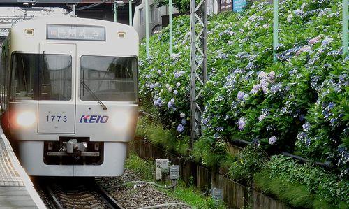 京王井の頭線東松原駅・あじさい(2013年6月16日)3