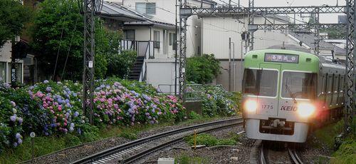 京王井の頭線東松原駅・あじさい(2013年6月16日)1