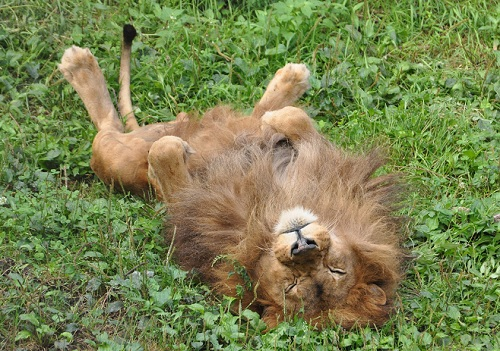 LionsHead_01.jpg