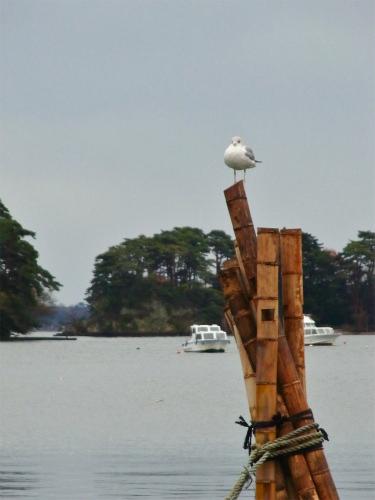 松島のカモメ