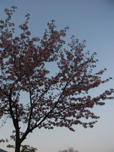 どこかのサービスエリアの桜
