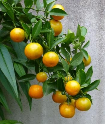 四季咲きレモン131104