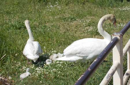 2013-5-8白鳥ベビー1