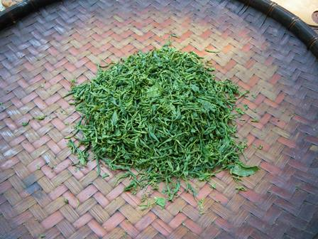 森のたね 新芽 紅茶づくり
