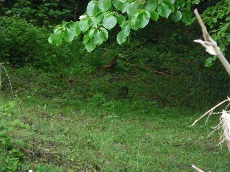 森のたね 植樹 ヤマドリ1