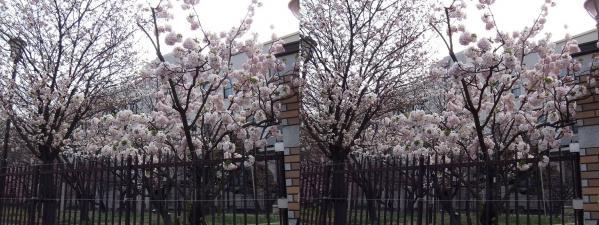 毛馬桜之宮公園④(交差法)