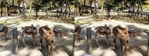 東大寺の鹿(交差法)