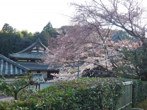 桜と舎利殿