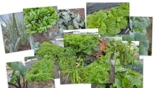 20131018 2013冬野菜の育ち2