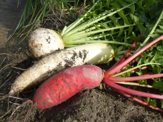 20131121今年の冬野菜2