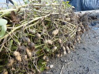 20131121今年の冬野菜2-029