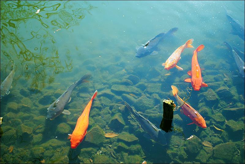 金魚境界線2リサイズ
