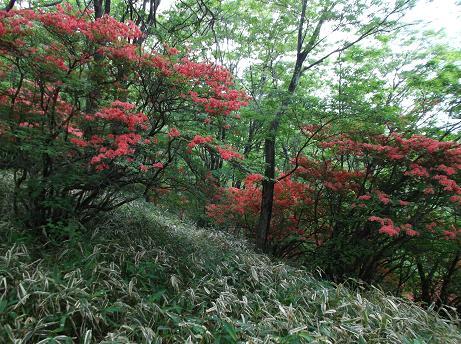 木立の中のヤマツツジ