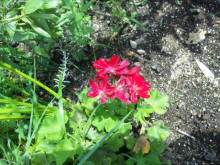 $なごみや ~ わかちあい日記 ~-赤い花