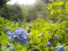 $なごみや 「わかちあい日記 」-紫陽花の群生