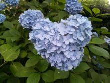 $なごみや 「わかちあい日記 」-ハートの紫陽花