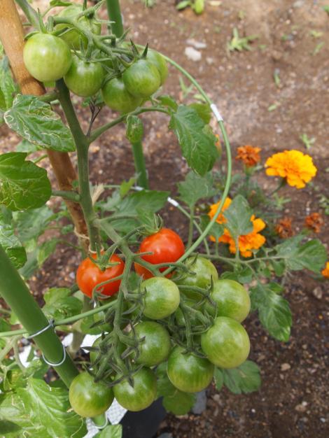 プチトマト4