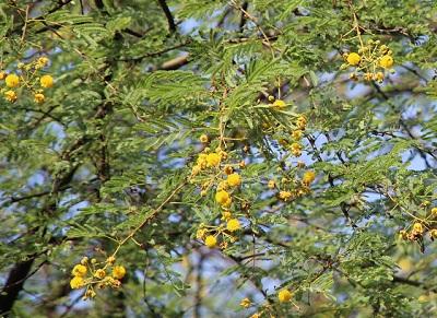 acacia nilotica1