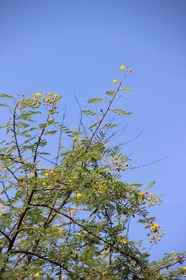 acacia-nilotica2.jpg