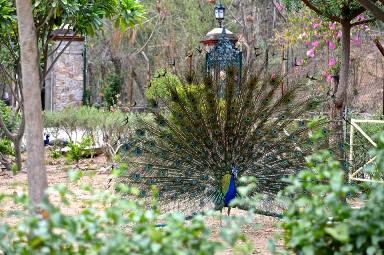 jaipur-peacock.jpg