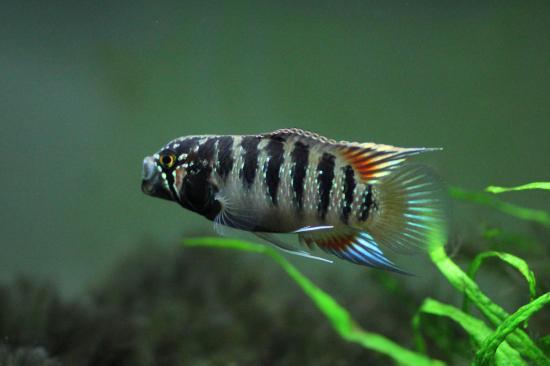 イバナカラアドケタ.トゥッカーノ♂33