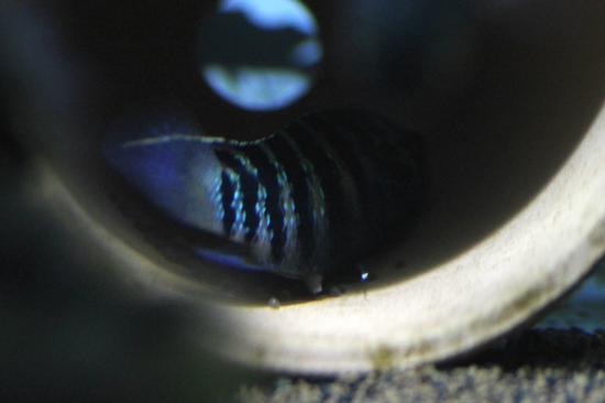 イバナカラアドケタ.トゥッカーノ産卵4