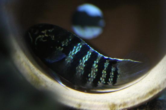 イバナカラアドケタ.トゥッカーノ産卵11